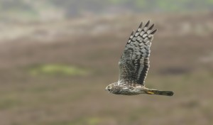 Female Hen Harrier over a grouse moor