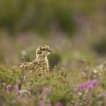 Grouse chicks feed on insects for the first 10 – 14 days of their life before moving on to the adult diet of fresh heather tips.