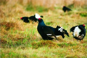Black grouse lekking