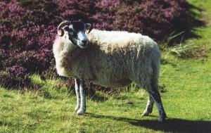 A Swaledale ewe.