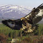 golden-eagle-wallpaper-1