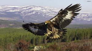 golden-eagle-wallpaper-1