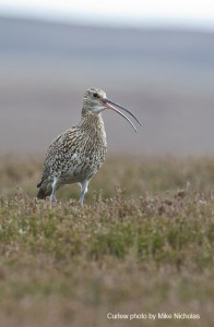 Curlew thrive on heather moorland managed by gamekeepers