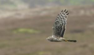 Female Hen Harrier over a grouse moor