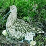 curlew chick and nest